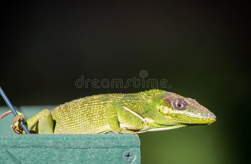 Cuban Knight Anole royalty free stock photography