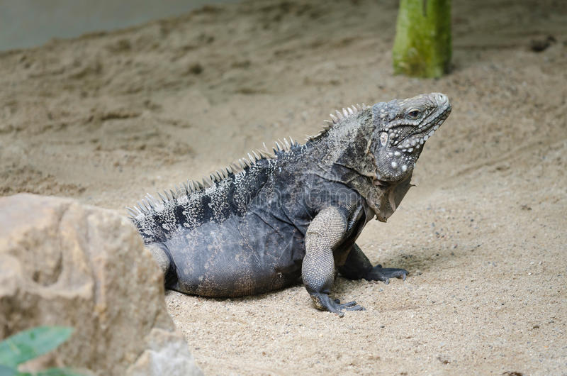Cuban rock iguana (Cyclura nubila). Picture of Cuban rock iguana Cyclura nubila reptile in Prague ZOO stock photography