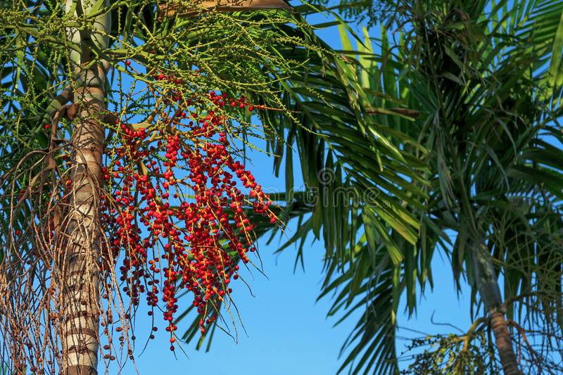 Cuban royal palm. With fruits seeds in different stages of ripening royalty free stock photo