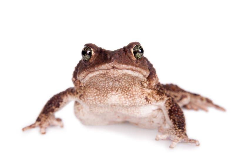 The cuban toad, Bufo empusus, on white. The Colorado River or Sonoran Desert toad, Incilius alvarius, on white stock image