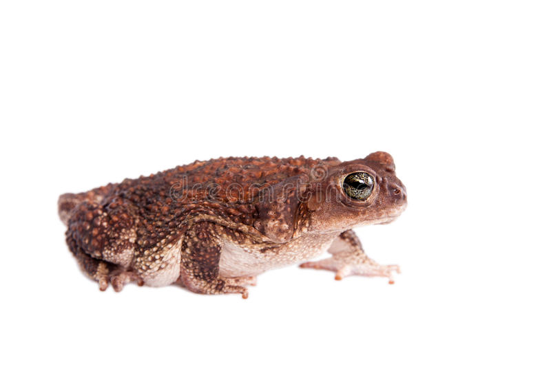 The cuban toad, Bufo empusus, on white. The Colorado River or Sonoran Desert toad, Incilius alvarius, on white royalty free stock photos
