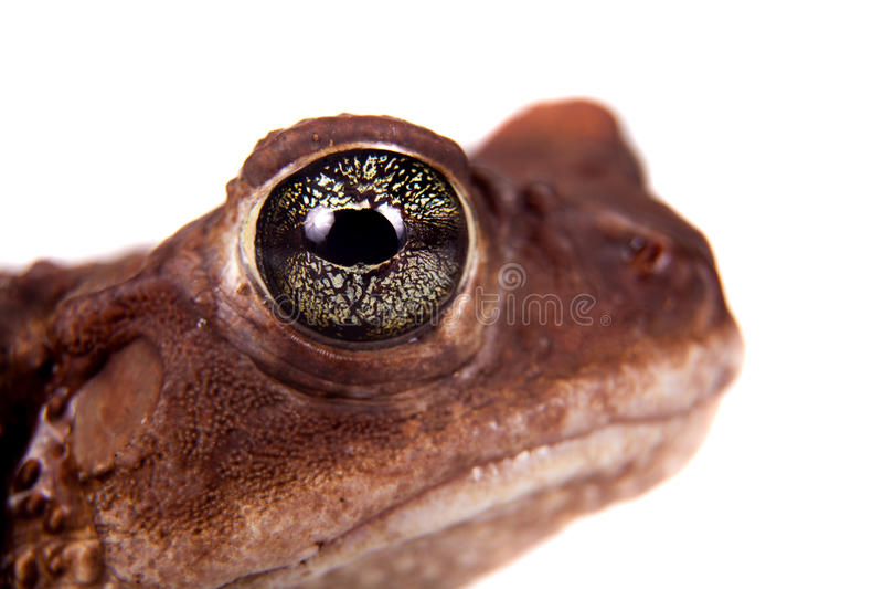 The cuban toad, Bufo empusus, on white. The Colorado River or Sonoran Desert toad, Incilius alvarius, on white stock photos