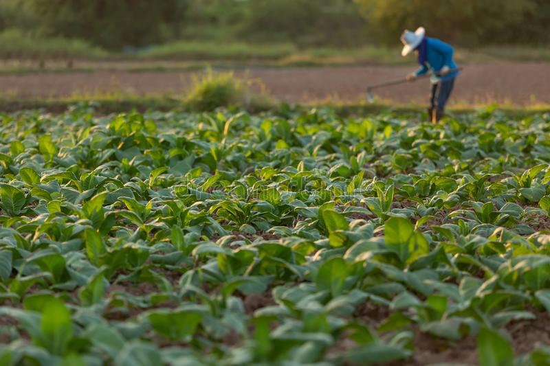 Cuban tobacco farmer working the soil on a field surrounded by green tobacco leaves royalty free stock images