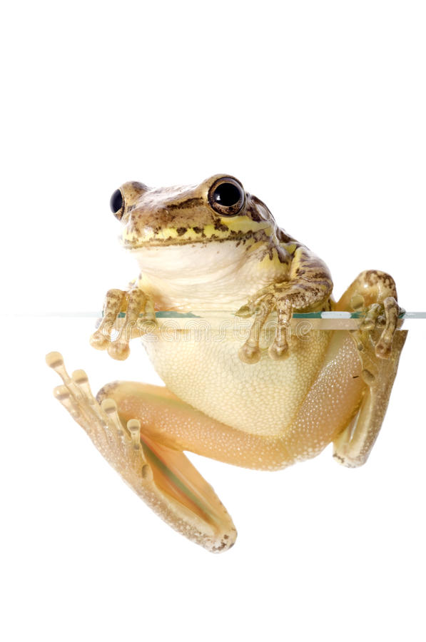 Download Cuban Tree Frog Climbing stock image. Image of invasive - 10798651