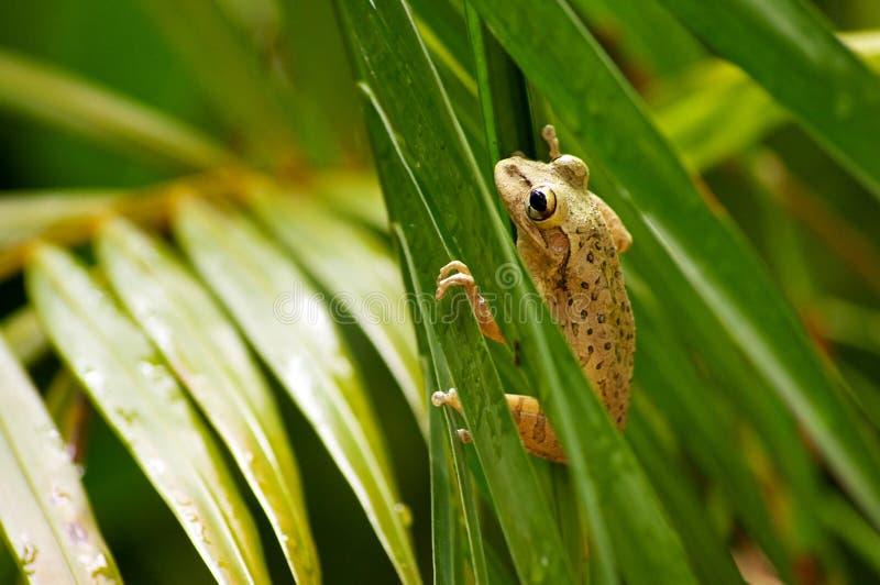 Cuban Tree Frog Climbing Stock Photography