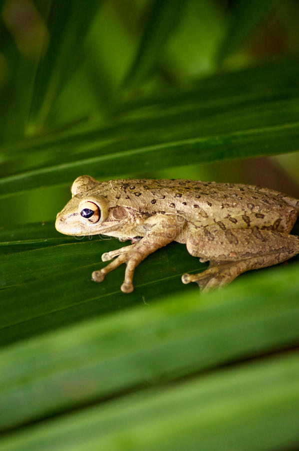 Cuban tree frog on palm frond