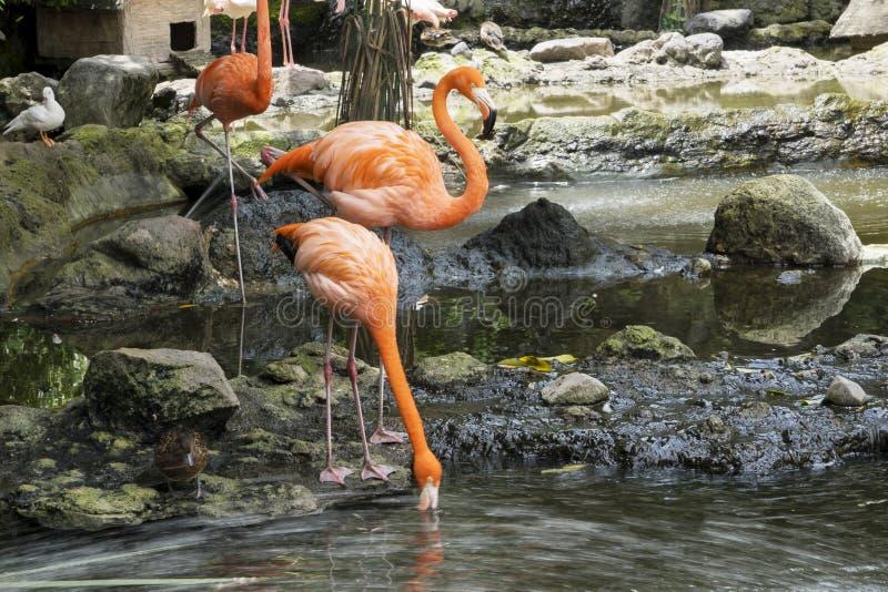 Cubano Lesser Flamingos de la multitud en el lago imagen de archivo libre de regalías