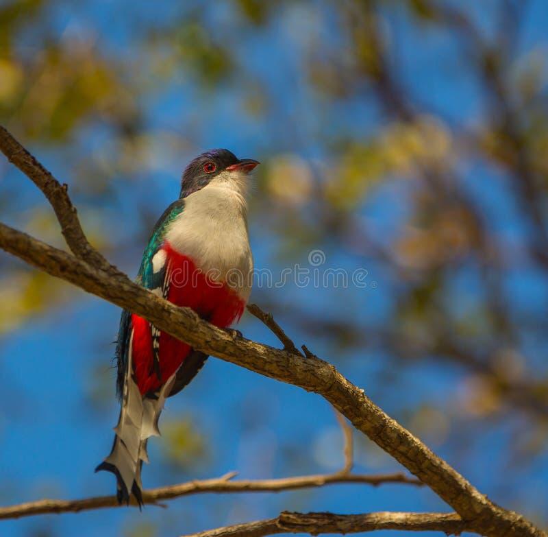 Cubano Trogon em uma árvore fotografia de stock