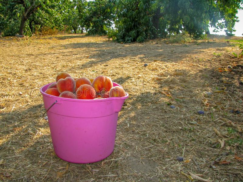 Cubeta cor-de-rosa completamente de pêssegos maduros foto de stock royalty free