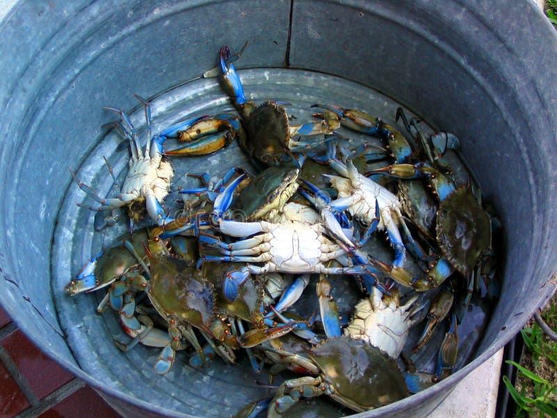Cubeta de caranguejos azuis imagem de stock