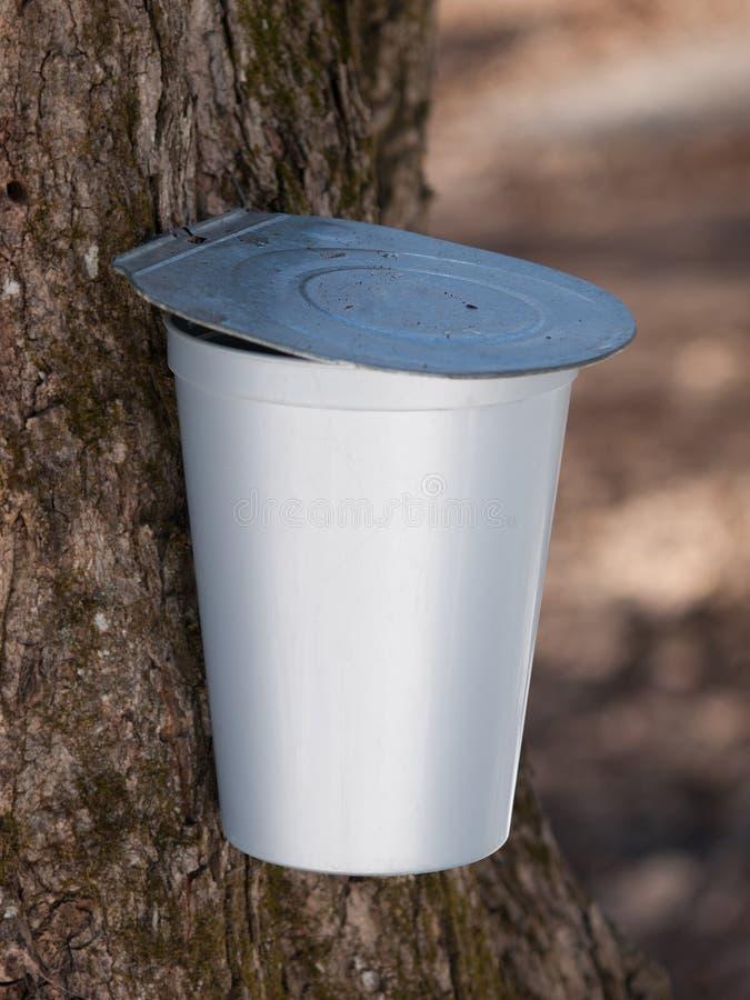 Cubeta do xarope de bordo no close-up da árvore fotografia de stock