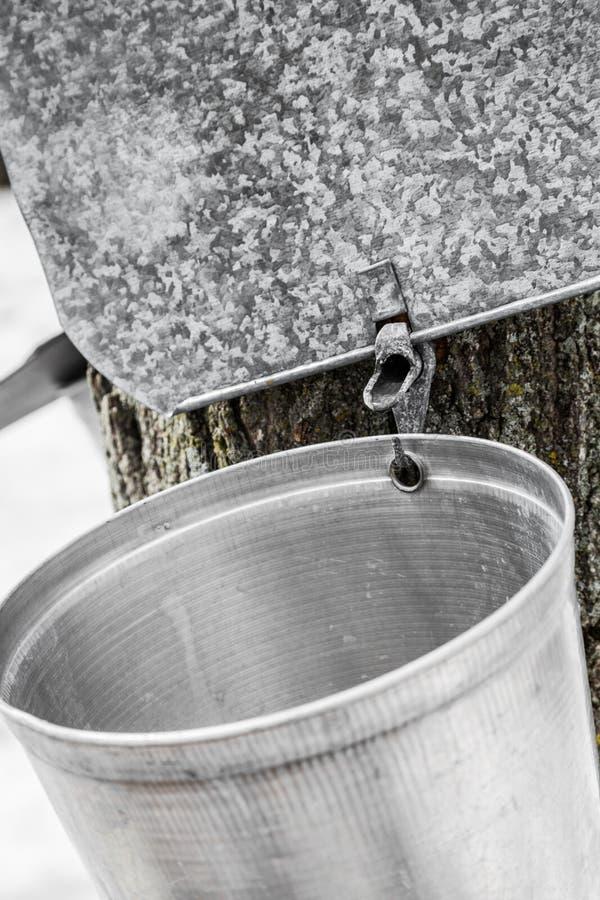 Cubetas da seiva do bordo em árvores na mola fotografia de stock royalty free