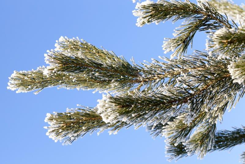 Cubierto con el pino de la nieve imagen de archivo libre de regalías