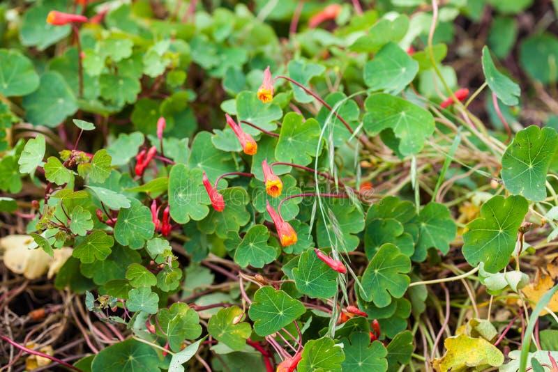 Cubios Tropaeolum tuberosum przy kultywaci polem zdjęcie stock