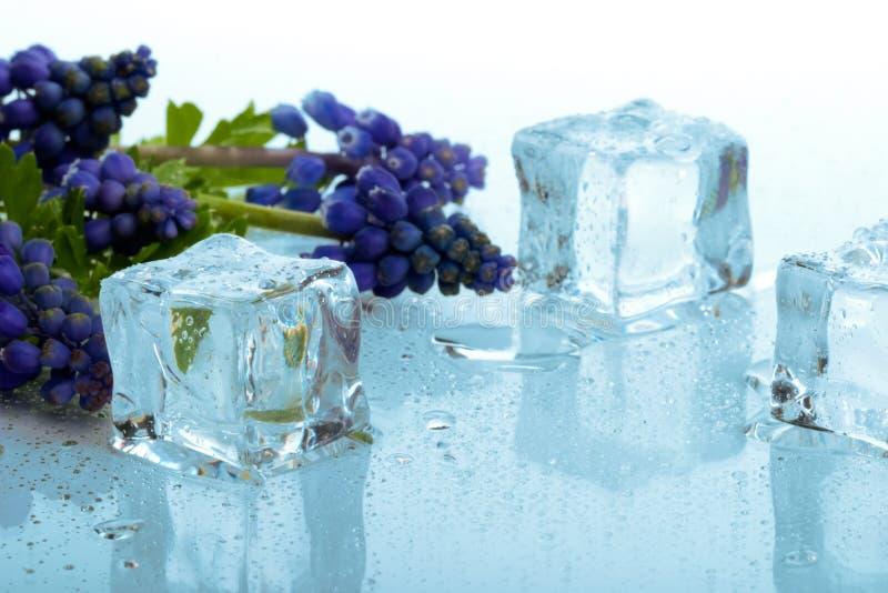 Cubos do Muscari e de gelo foto de stock