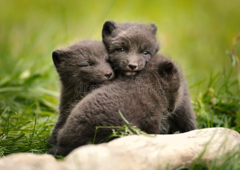 Cubs αρκτικών αλεπούδων παιχνίδι στοκ φωτογραφίες με δικαίωμα ελεύθερης χρήσης