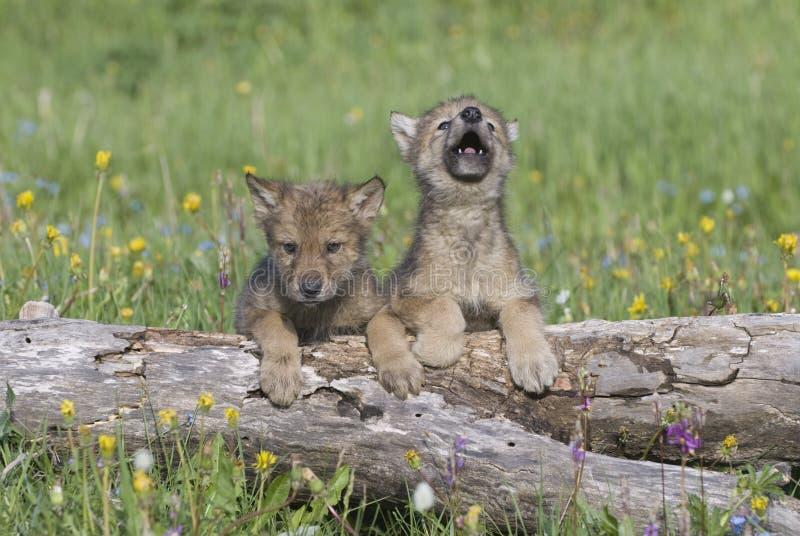 cubs γκρίζος λύκος στοκ φωτογραφίες