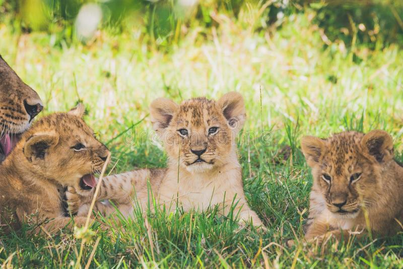 Cubs λιονταριών χαλαρώνουν στους θάμνους, η λιονταρίνα πλένει το μωρό της στοκ φωτογραφία με δικαίωμα ελεύθερης χρήσης