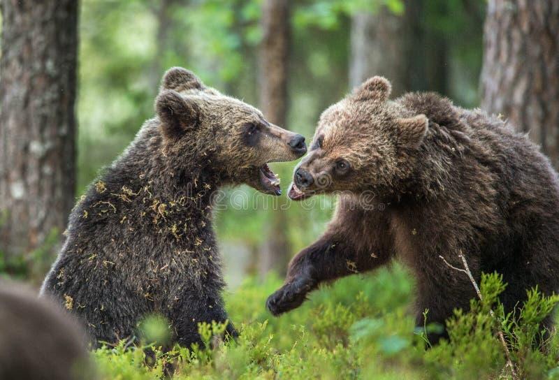 Cubs бурых медведей & x28; Ursus Arctos Arctos& x29; шаловливо воюющ стоковые фото