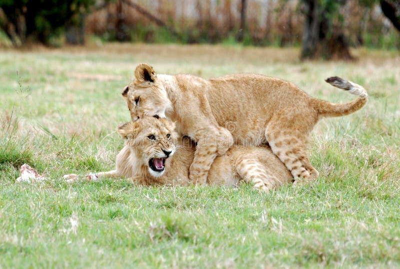 cubs играть льва стоковое изображение rf
