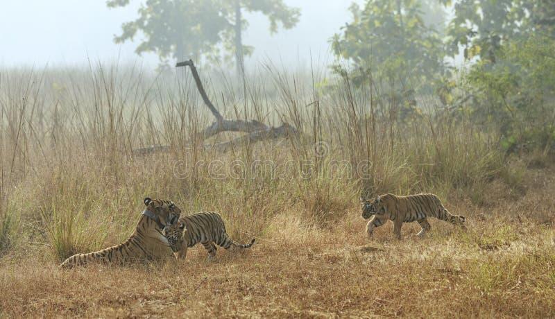 Cubs de Choti Tara approching el het en Tadoba Andhari Tiger Reserve, maharashtra, la India foto de archivo