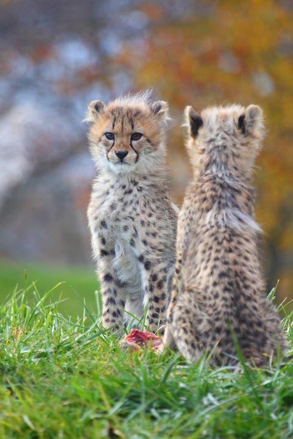 Cubs del ghepardo immagine stock