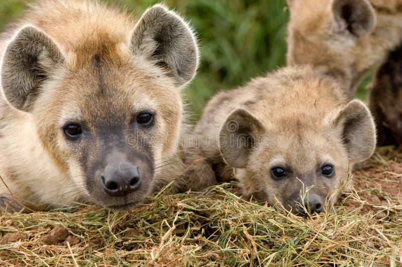 Cubs del Hyena in Masai Mara immagini stock