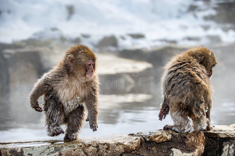 Cubs del macaque japonés en la piedra, cerca de las aguas termales naturales foto de archivo