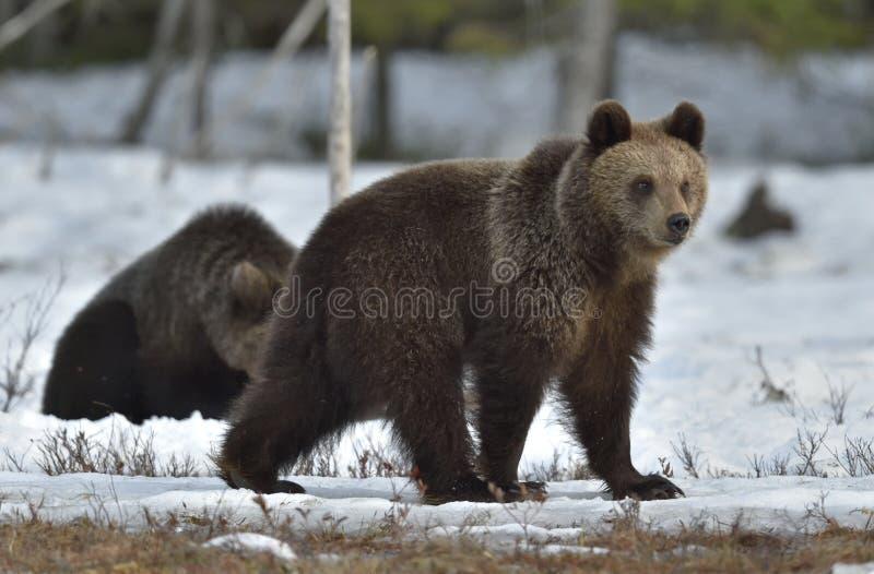 Cubs del oso de Brown (arctos del Ursus) después de la hibernación fotos de archivo libres de regalías