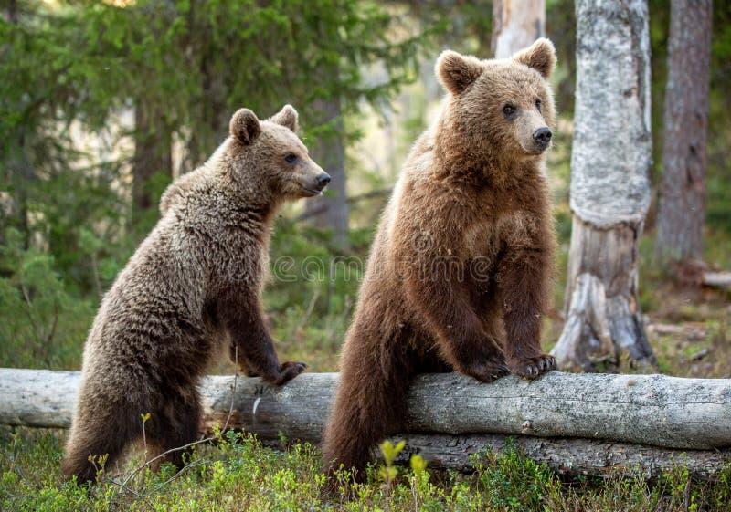 Cubs del oso de Brown en el h?bitat natural del bosque del verano Nombre cient?fico: Arctos del Ursus imagenes de archivo