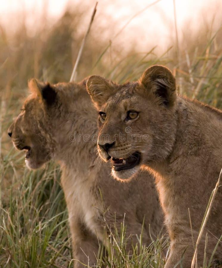 Cubs Di Leone Nel Chobe Immagini Stock Libere da Diritti