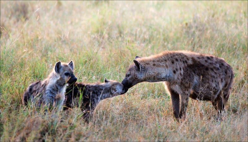cubs hyena пятнистый стоковая фотография rf