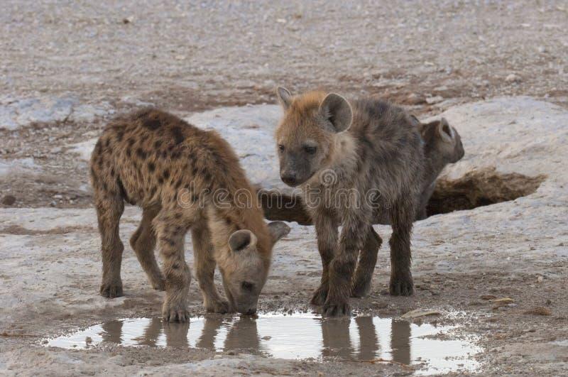 cubs hyena стоковая фотография