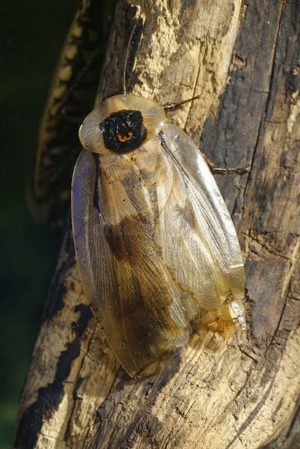 Cucaracha brasileña gigante fotografía de archivo