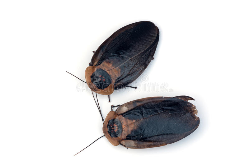 Cucaracha de la cabeza del ` s de la muerte fotografía de archivo