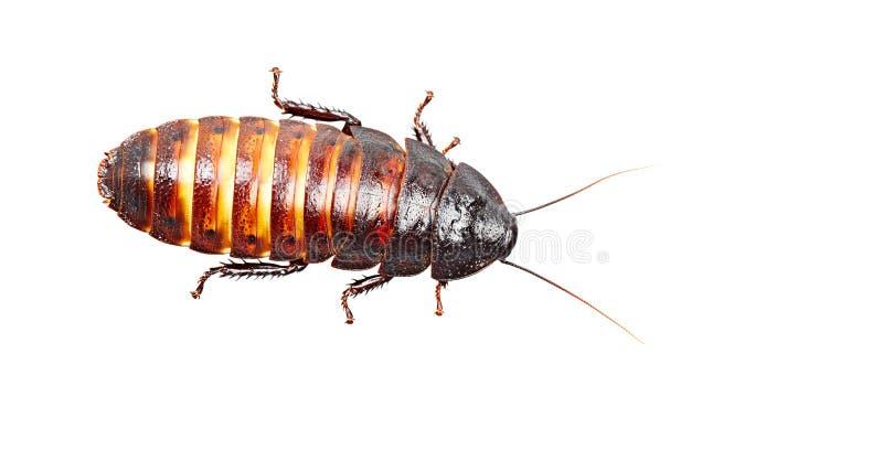 Cucaracha de Madagascar aislada en el fondo blanco imagen de archivo