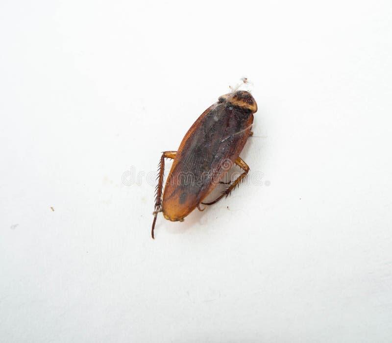 Cucaracha del primer aislada con la telara?a en el fondo blanco foto de archivo