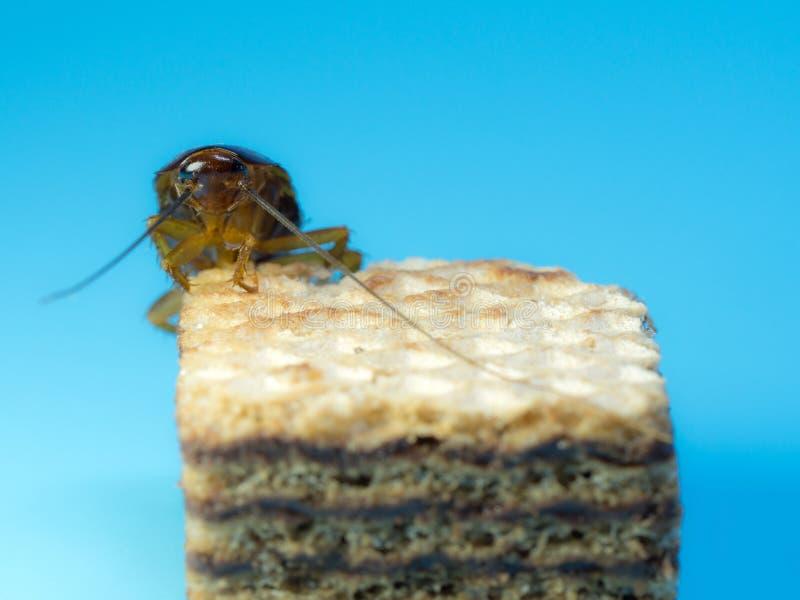 Cucaracha del primer en la oblea del chocolate, el fondo azul Las cucarachas son portadores de la enfermedad fotografía de archivo