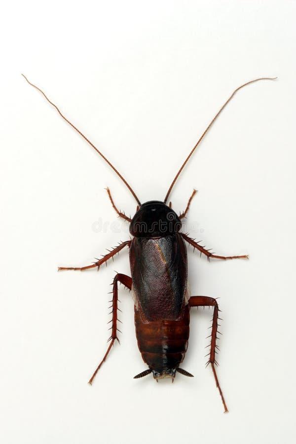 Cucaracha en el fondo blanco foto de archivo libre de regalías
