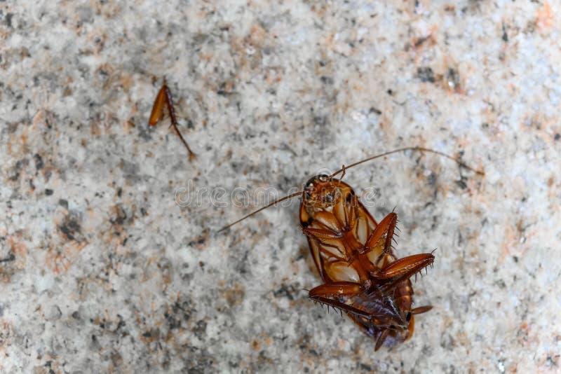 Cucaracha envenenada en la tierra con la pierna quebrada fotos de archivo