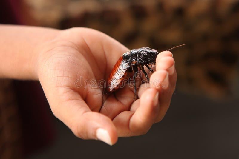 Cucaracha Handheld de Madagascar que silba imagenes de archivo