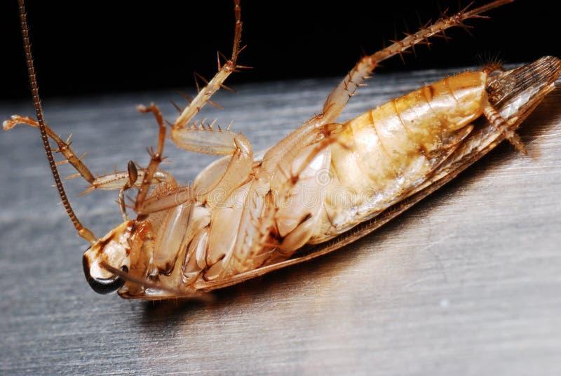 Cucaracha muerta fotografía de archivo libre de regalías