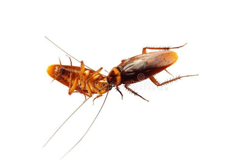 Cucaracha muerta aislada imágenes de archivo libres de regalías