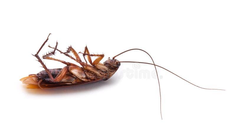 Cucaracha muerta aislada foto de archivo
