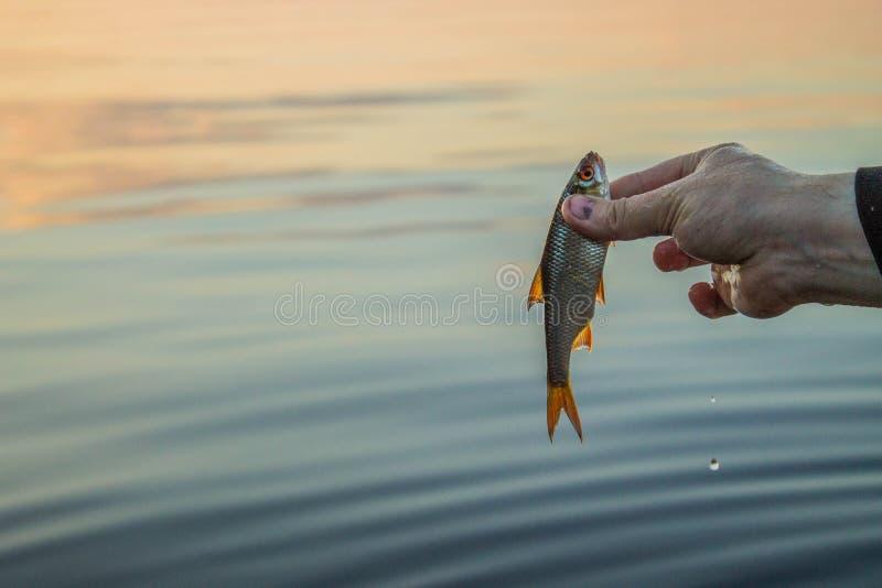 cucaracha muy pequeña de los pescados en la mano del pescador fotos de archivo libres de regalías