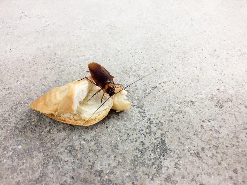 Cucaracha que come el pan del trigo integral en fondo áspero del piso del cemento Las cucarachas son portadores de la enfermedad foto de archivo