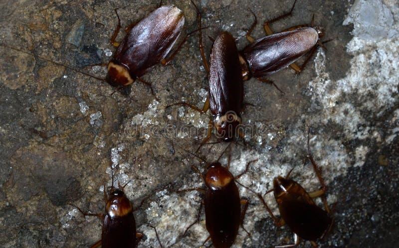 Cucarachas americanas imágenes de archivo libres de regalías