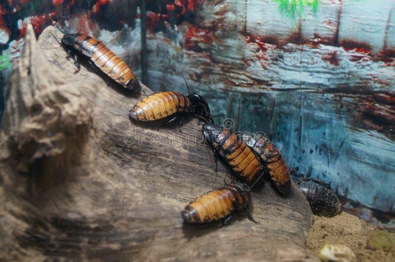 Cucarachas en la madera foto de archivo libre de regalías