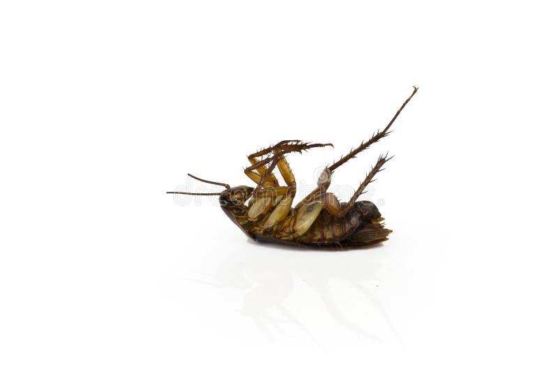 Cucarachas en un fondo blanco con la trayectoria cipping fotografía de archivo libre de regalías