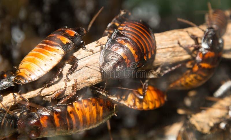 Cucarachas grandes imágenes de archivo libres de regalías